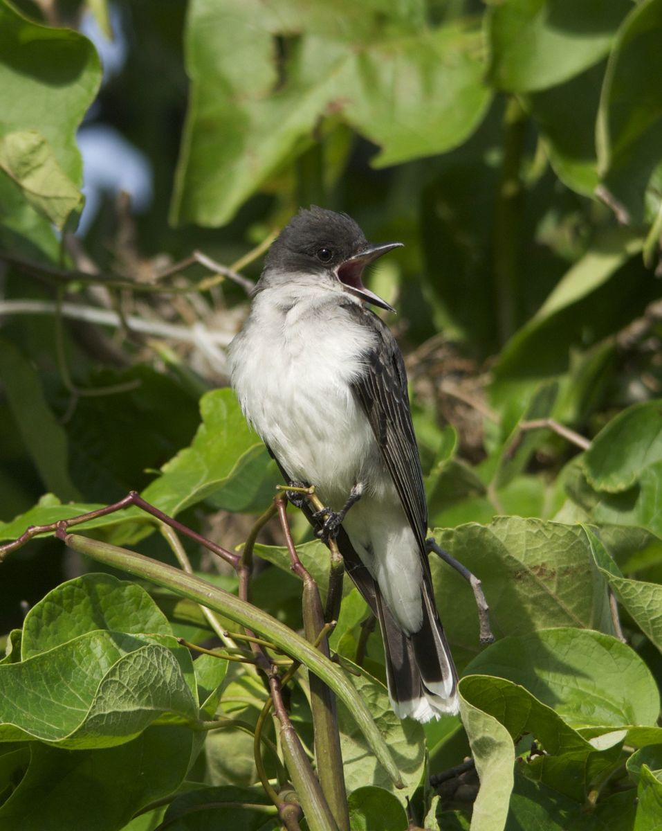 Eastern Kingbird Vocalizing