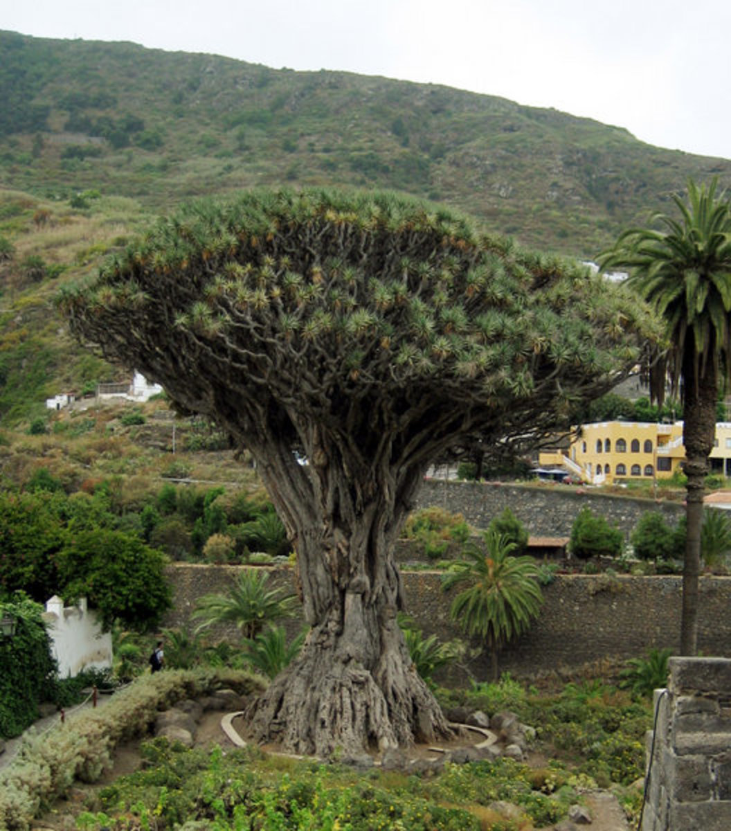 The oldest known dragon tree, in Tenerife,  Canary Islands.