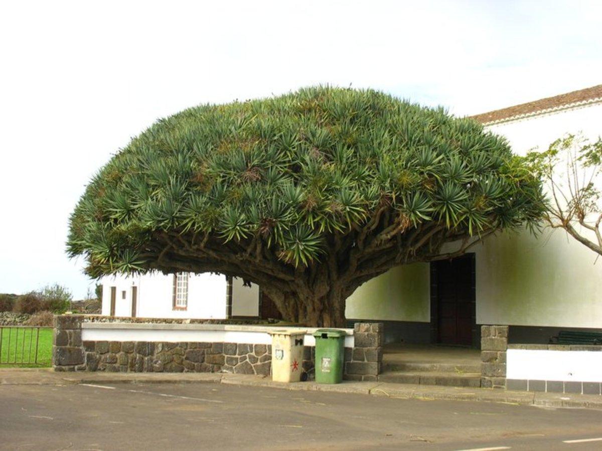A big and old dragon tree, Darcaena drago, in Graciosa Island, Azores.