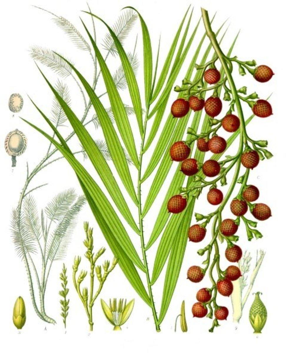 Rattan palms, Daemonorops draco.