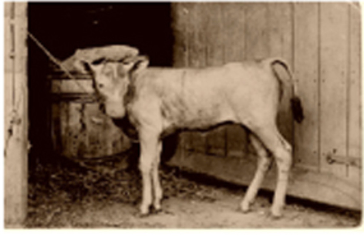 Undated antique photograph of hairless calf.