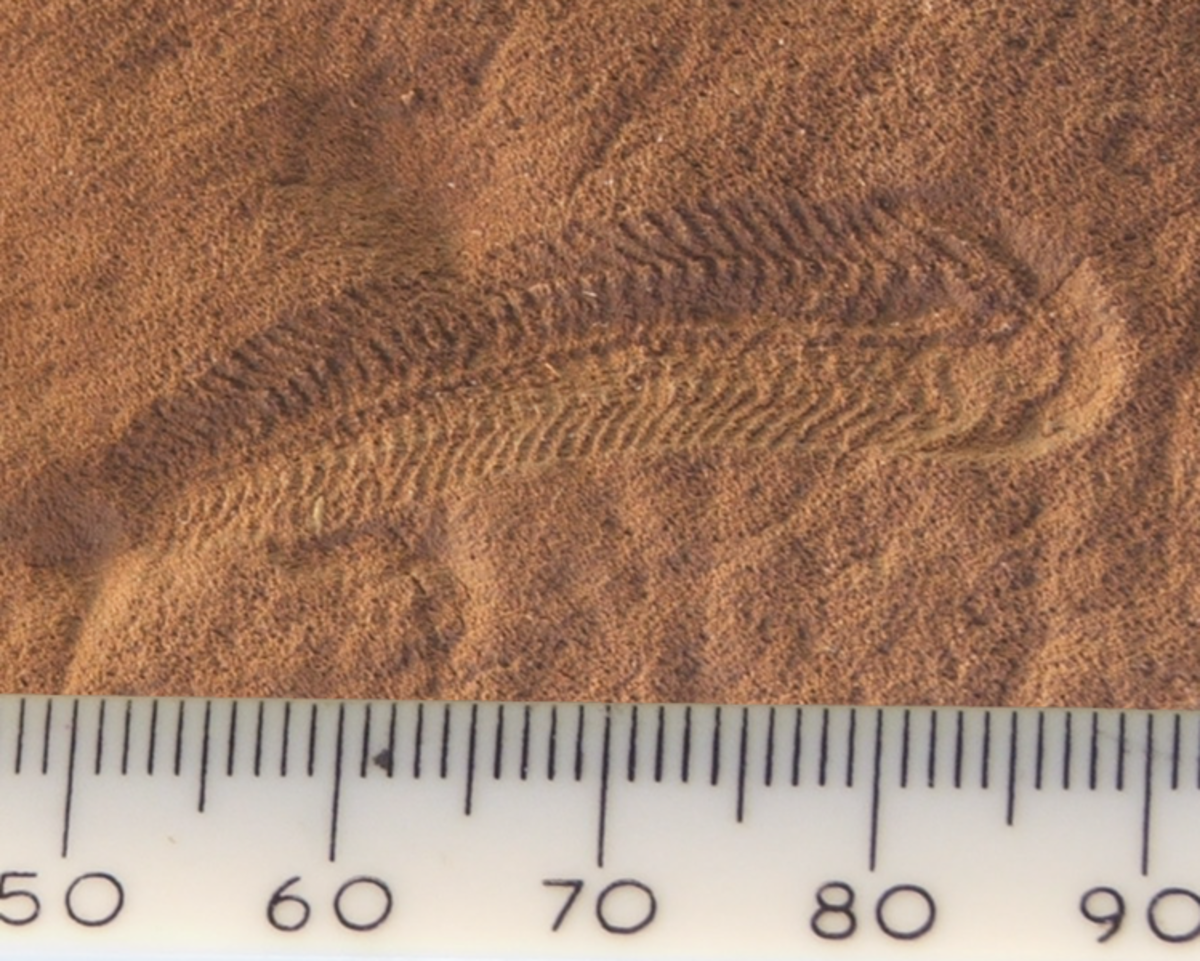 This tiny worm like creature called Spriggina is one of the first creatures with a recognisable head and rear. It may represent our earliest known ancestor.