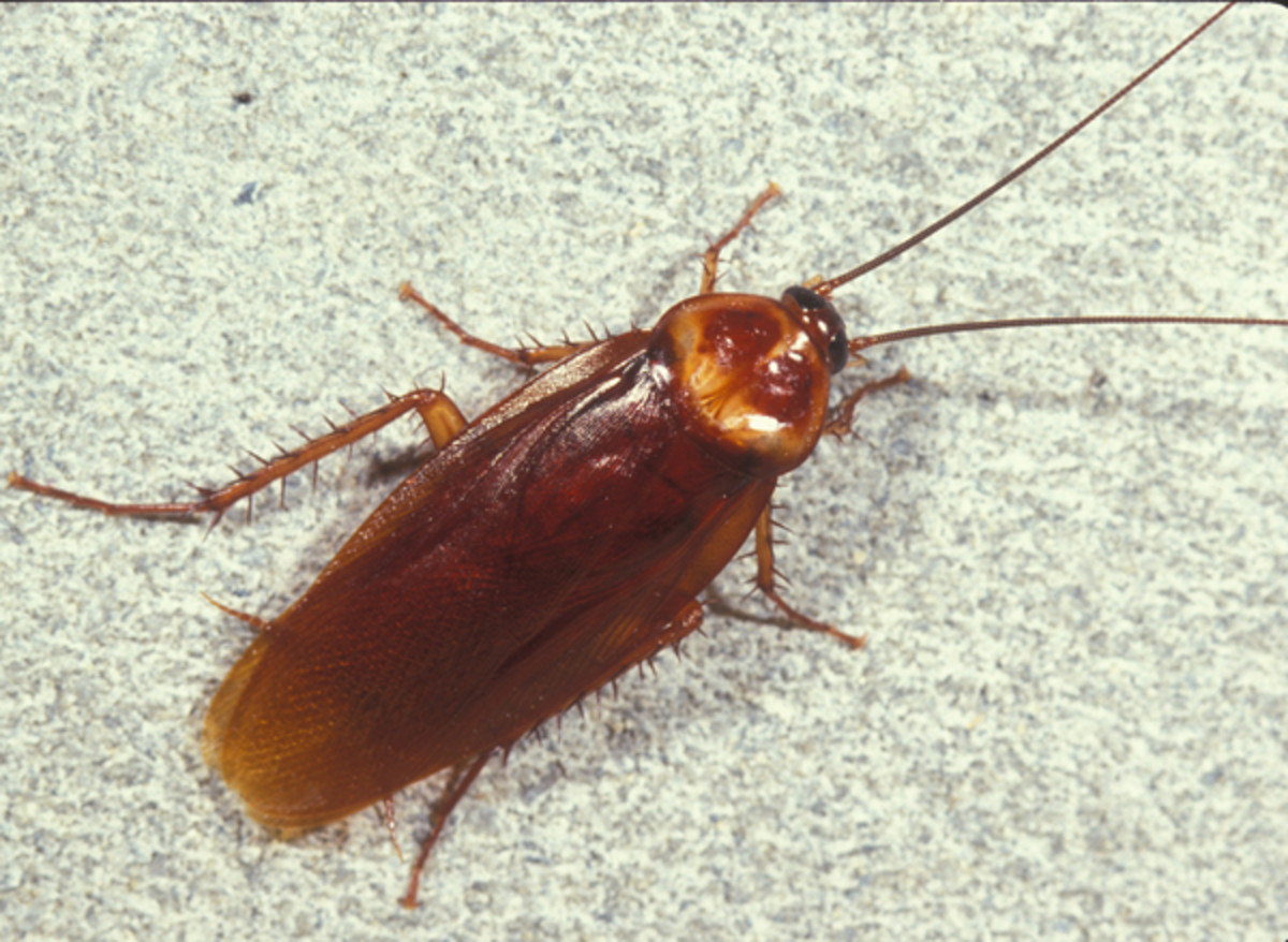Kill and Manage Roaches the Natural, Organic Way