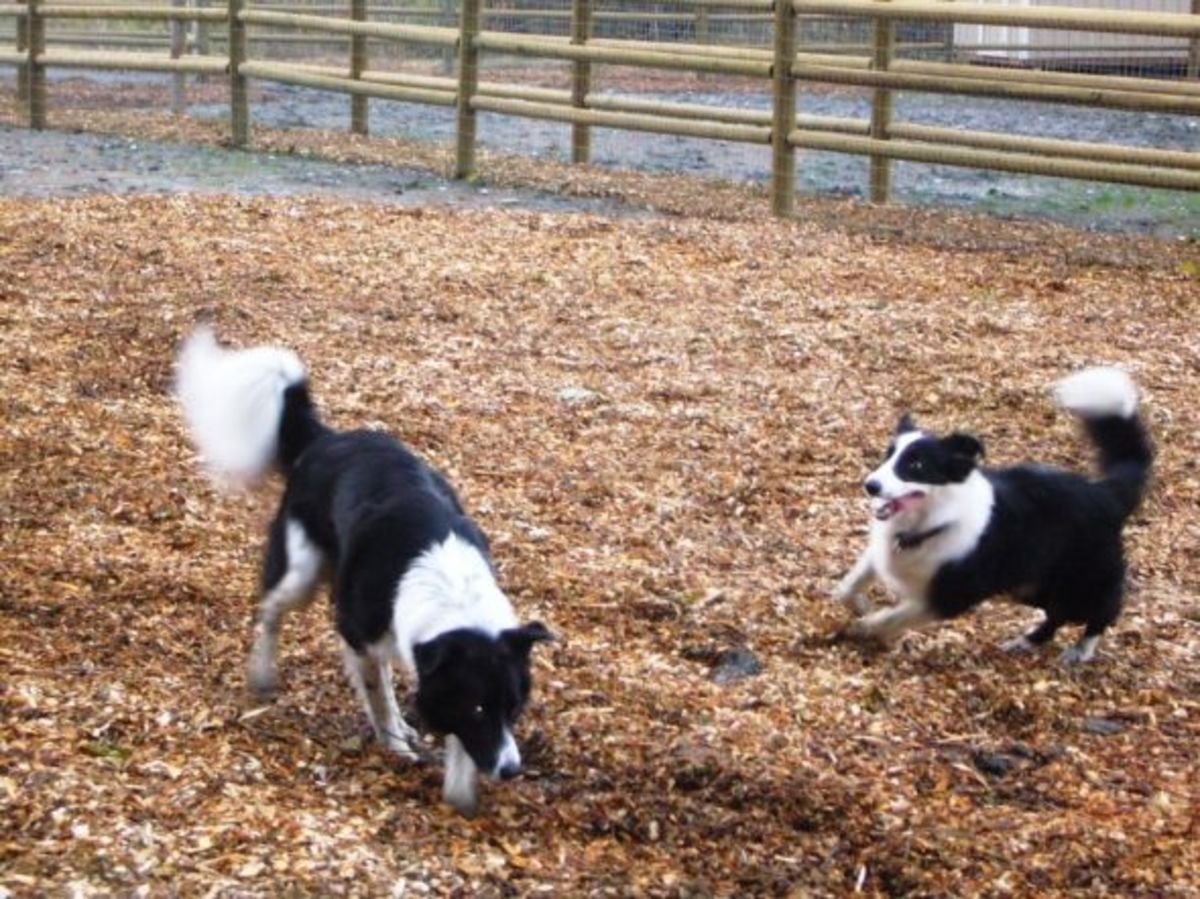 Border Collies Playing Chase Games at the Mukilteo Dog Park
