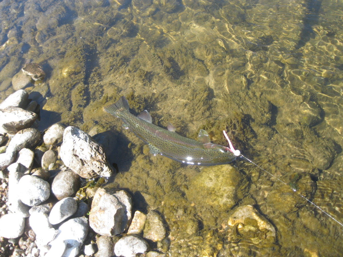Rainbow Trout in the Sierra Mtns in California caught on bubble gum mice tail.