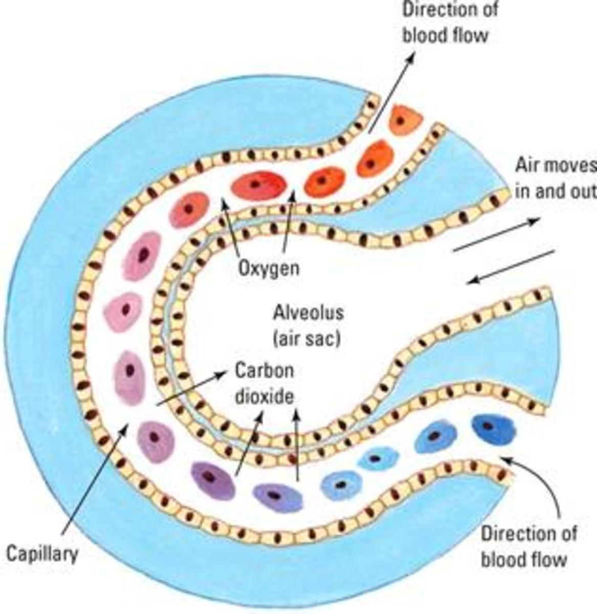 Illustration of gaseous exchange in the alveoli