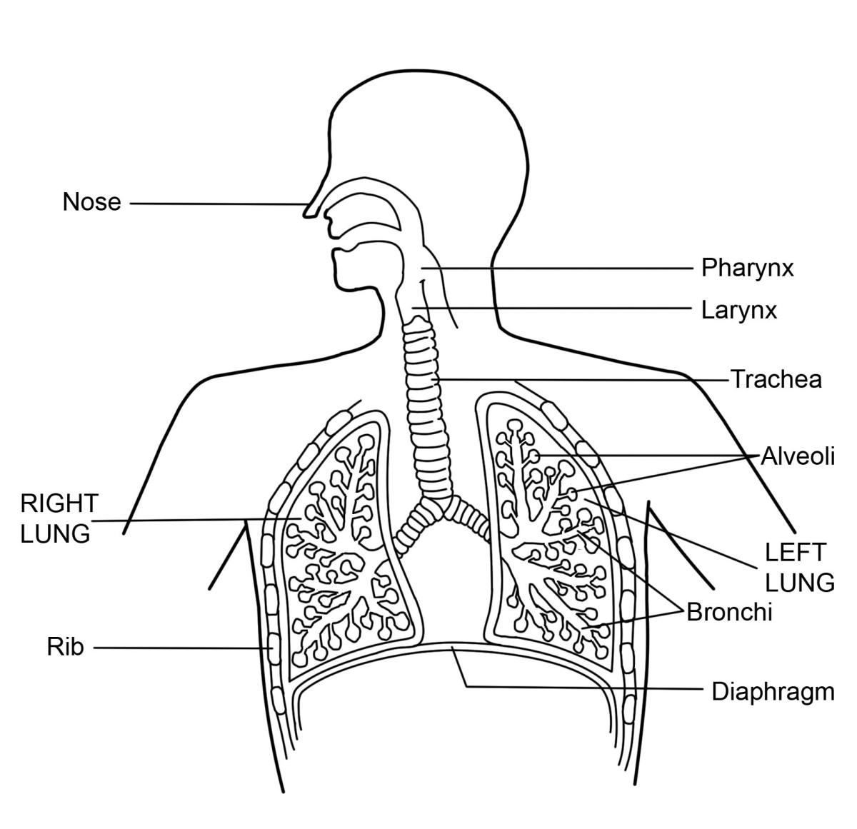What Is The Respiratory System Diagram And Function Hubpages