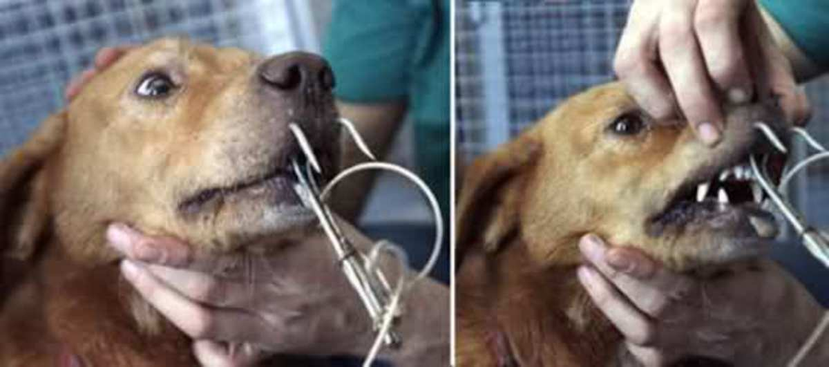 They try to say online that this dog got into his masters tackle box and accidentally became hooked?  Unlikely.