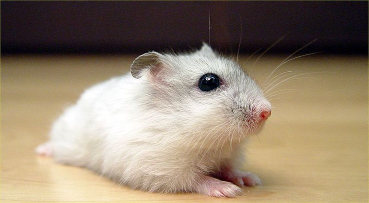 Pearl Winter White Russian Dwarf Hamster