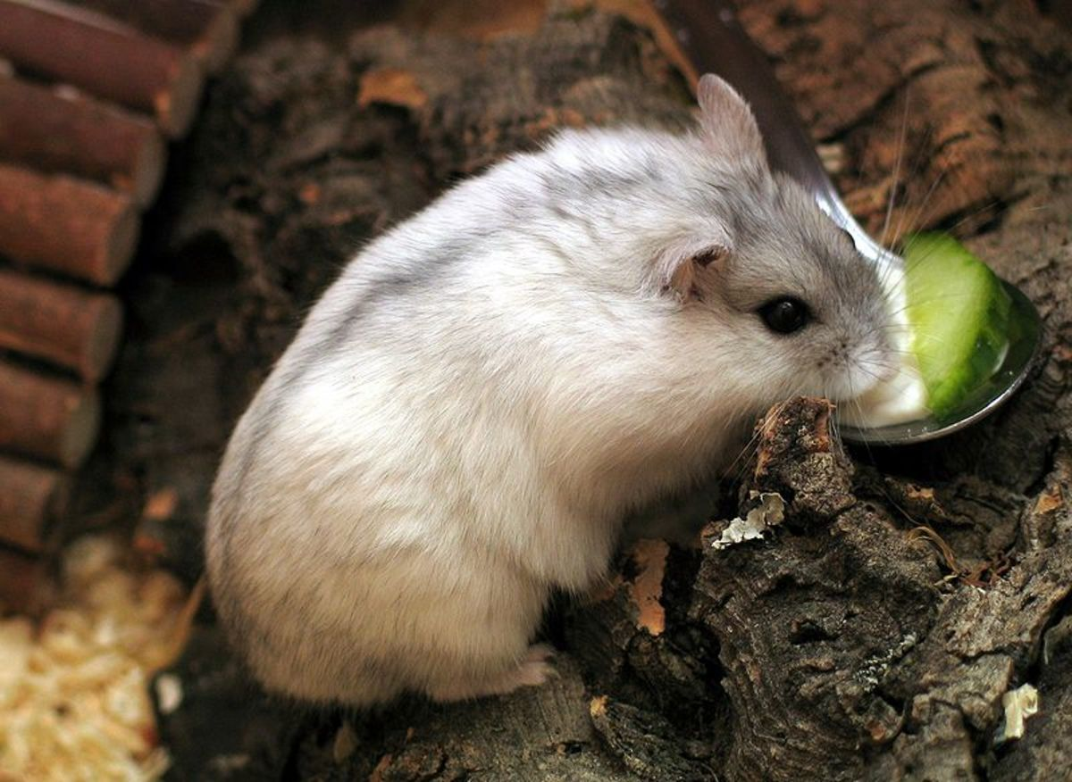 Russian Dwarf Hamster Enjoying A Piece Of Cucumber