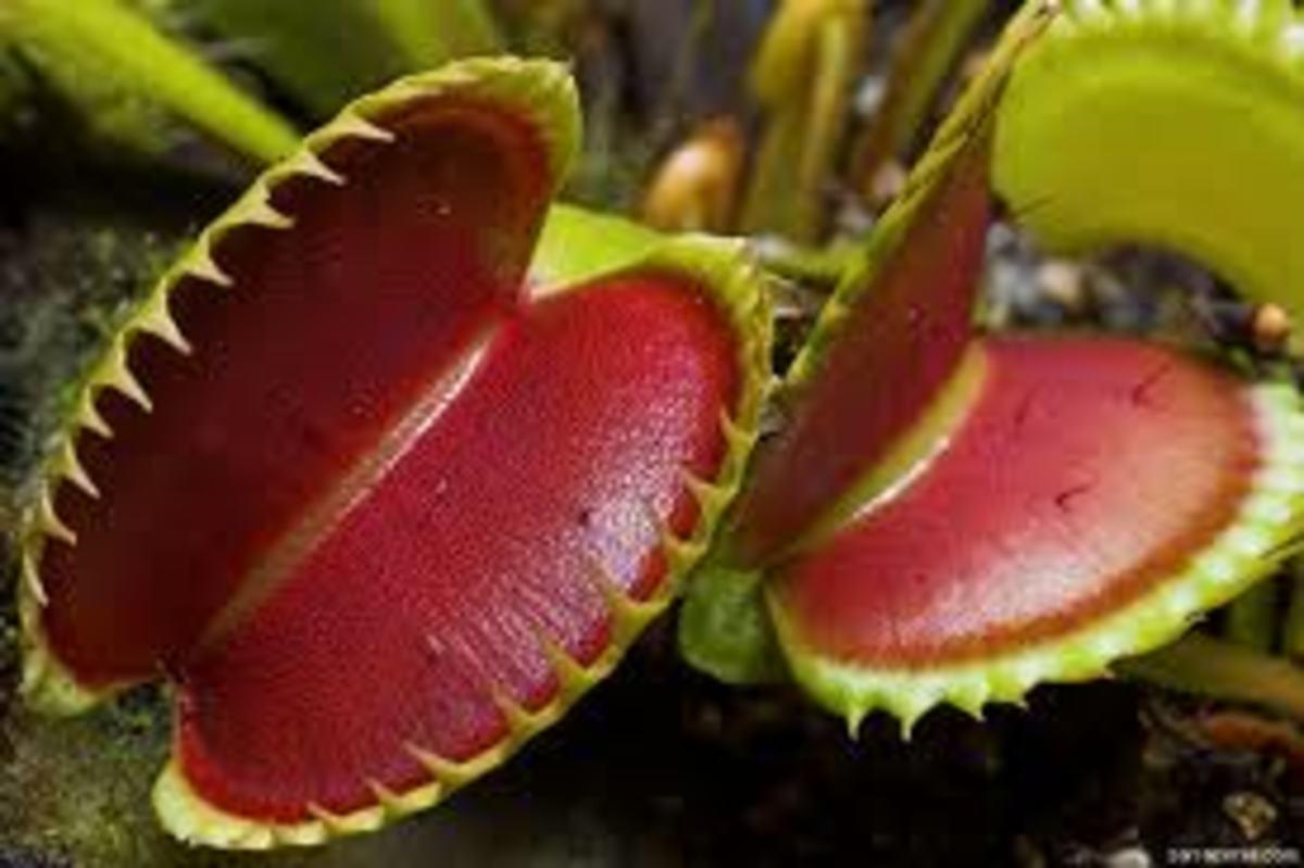 Amazon Rainforest Venus Fly Trap Venus Fly Trap Dionaea