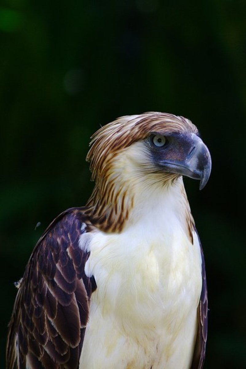 Birds of Prey:  The Philippine Eagle
