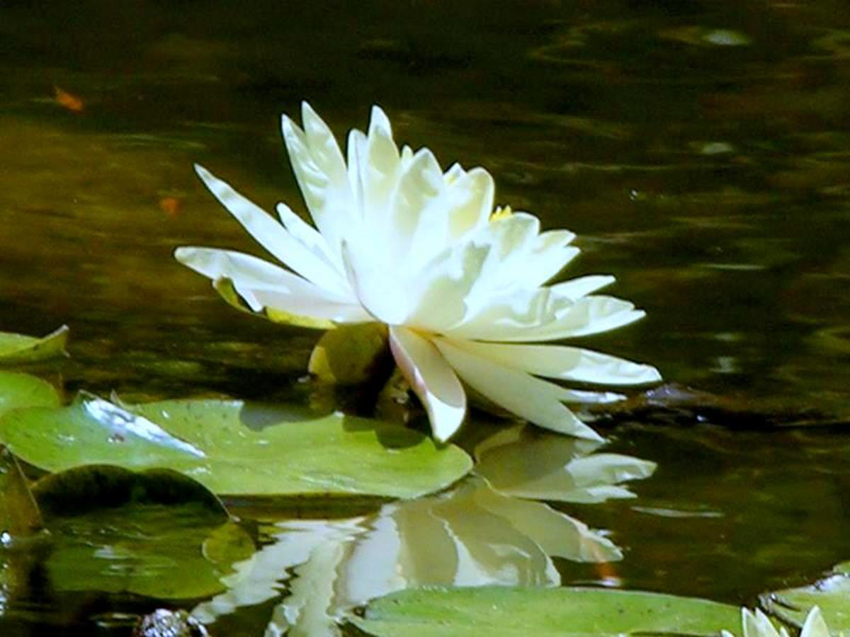 a beautiful sunlit water lily
