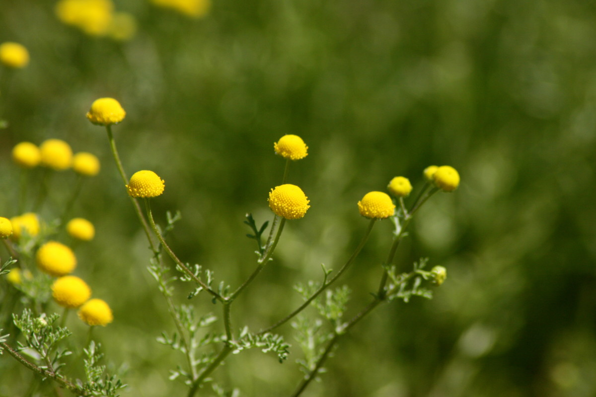 Pineapple weed smells even lovelier than it looks