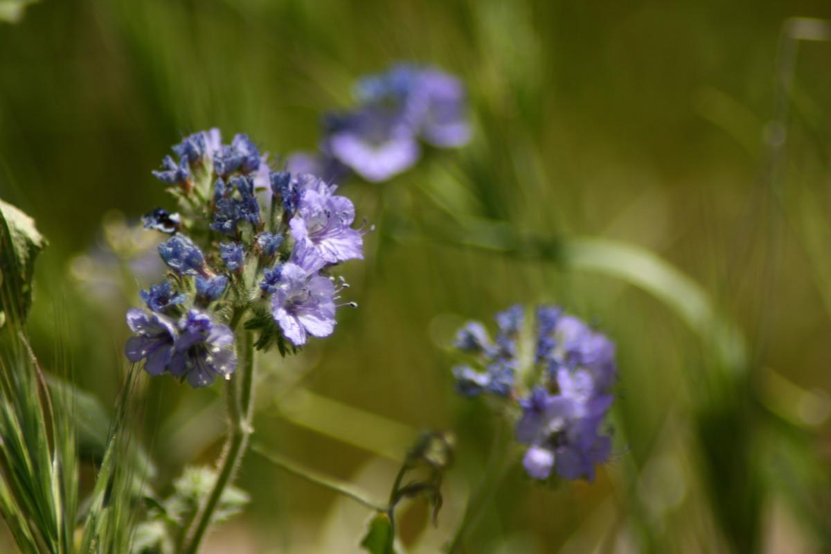 desert-in-bloom-arizona-wildflowers-weeds-spring