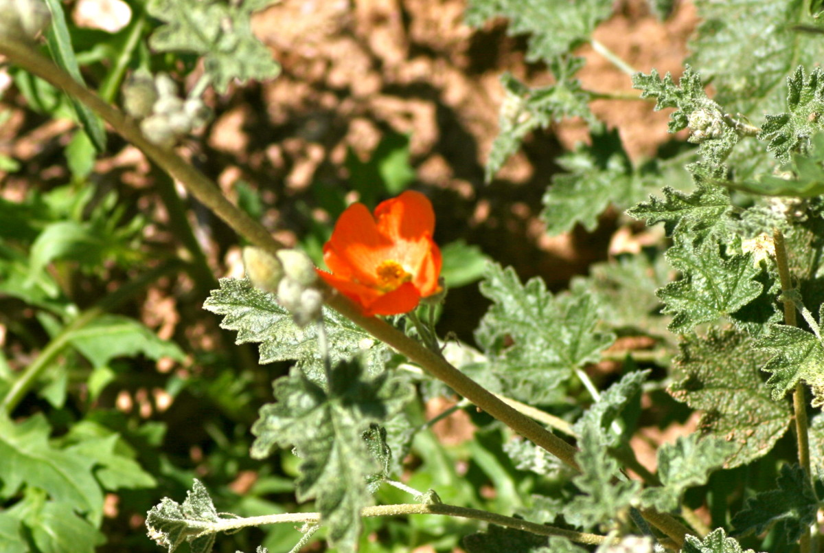 The Globemallow has only just begun
