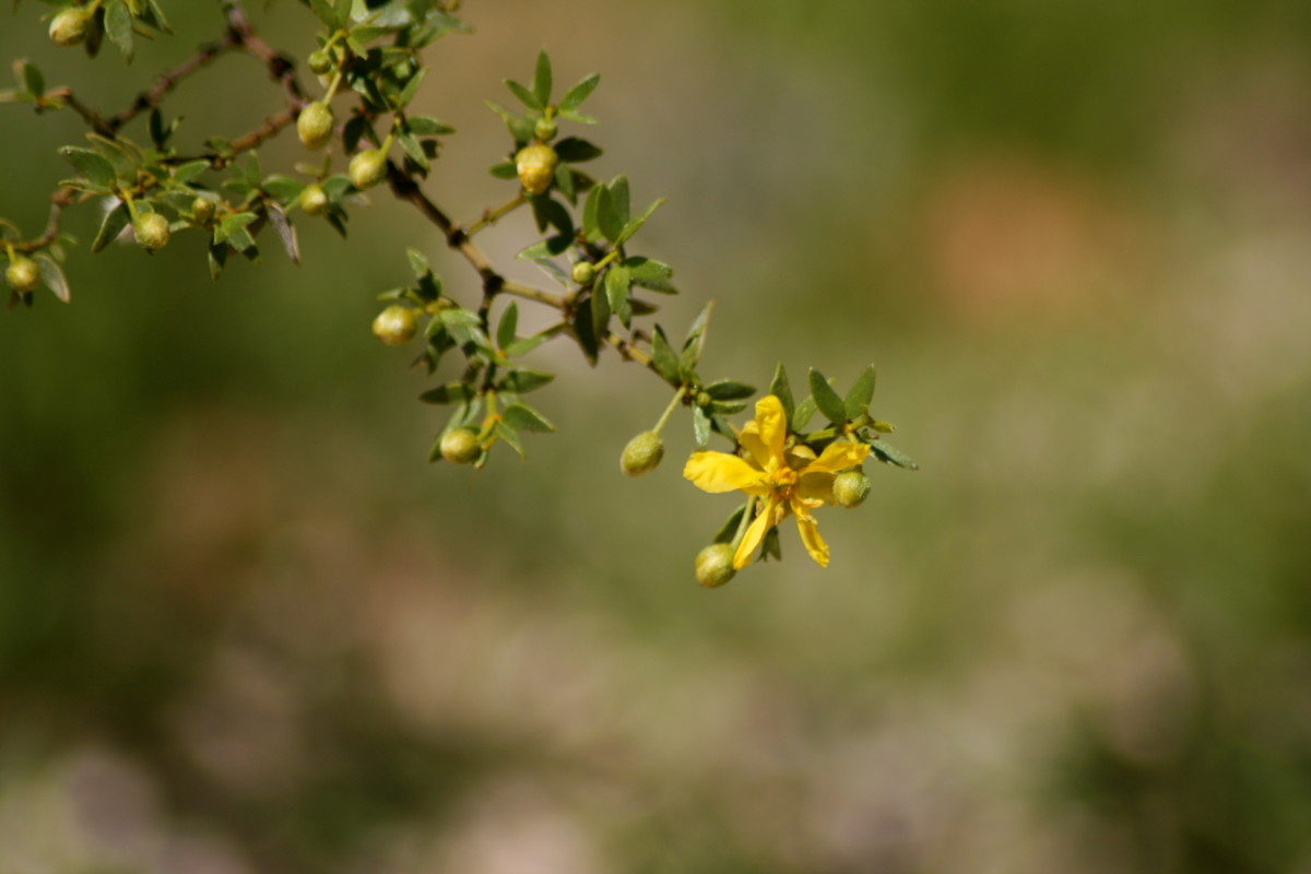 This Creosote Bush is still primarily in the planning phase.