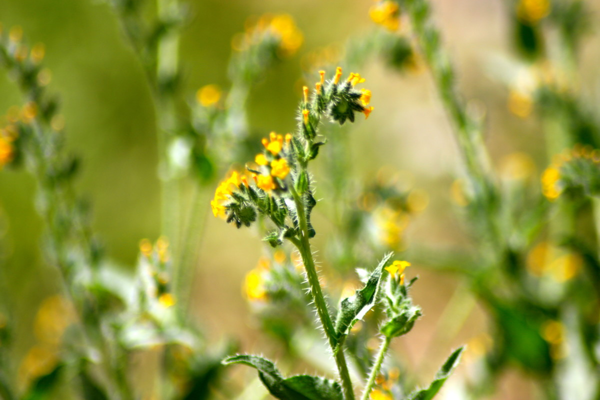 The noxious Fiddleneck adds to the palette