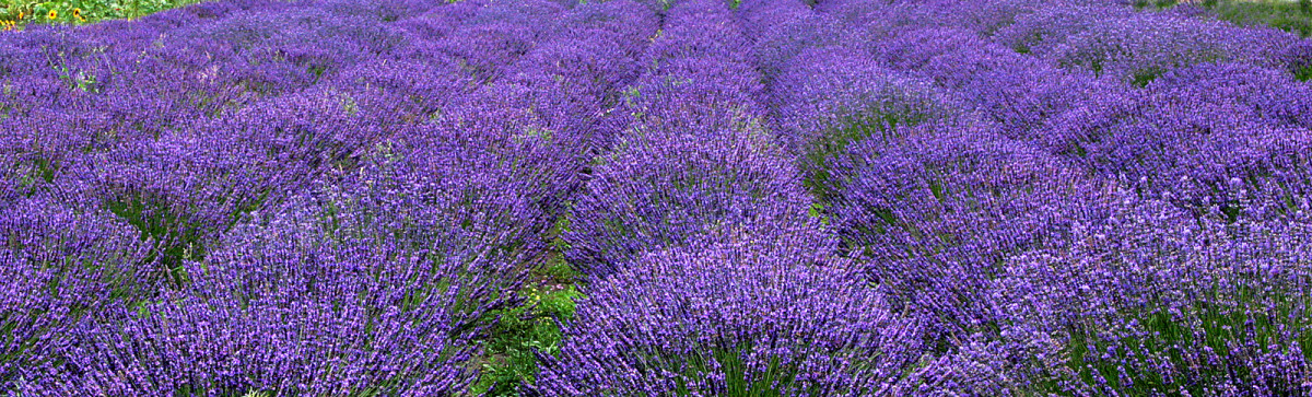 How to Make Lavender and Patchouli Body Wash.