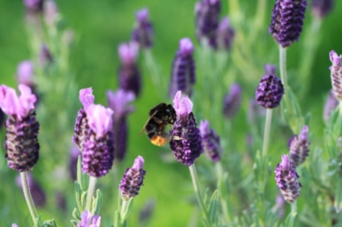 lavender oil is extracted from either the flower head or the spike depending on the species.