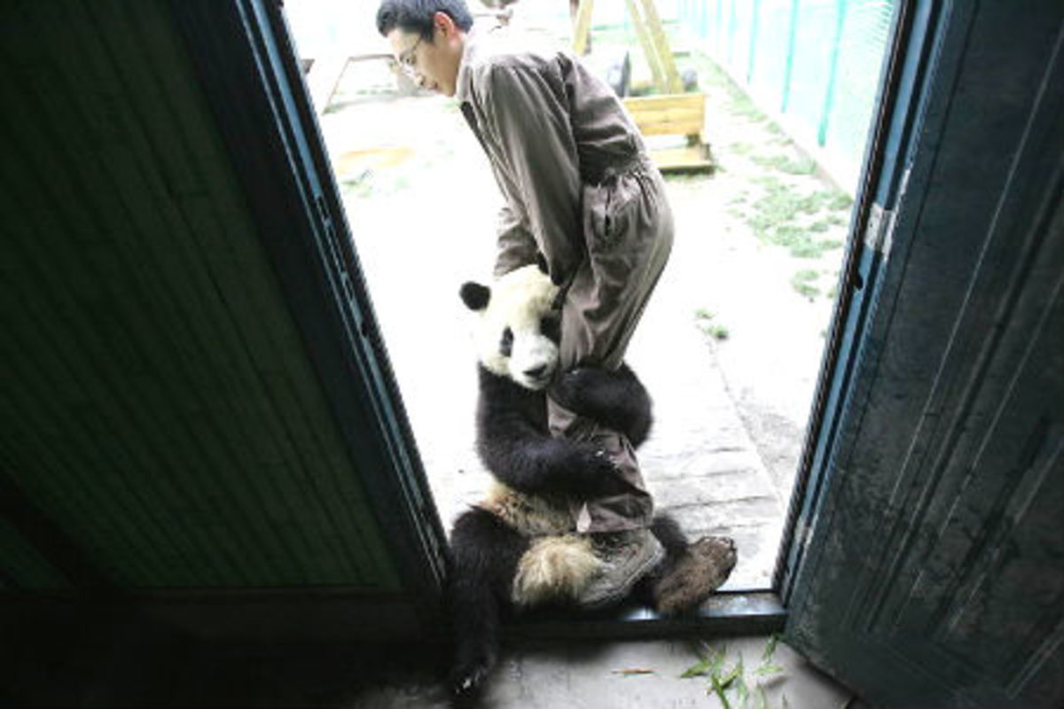 A panda from Wolong Reserve habitat, who has grown close to her care taker while looked after in other centres while the destroyed panda habitat was rebuilt.