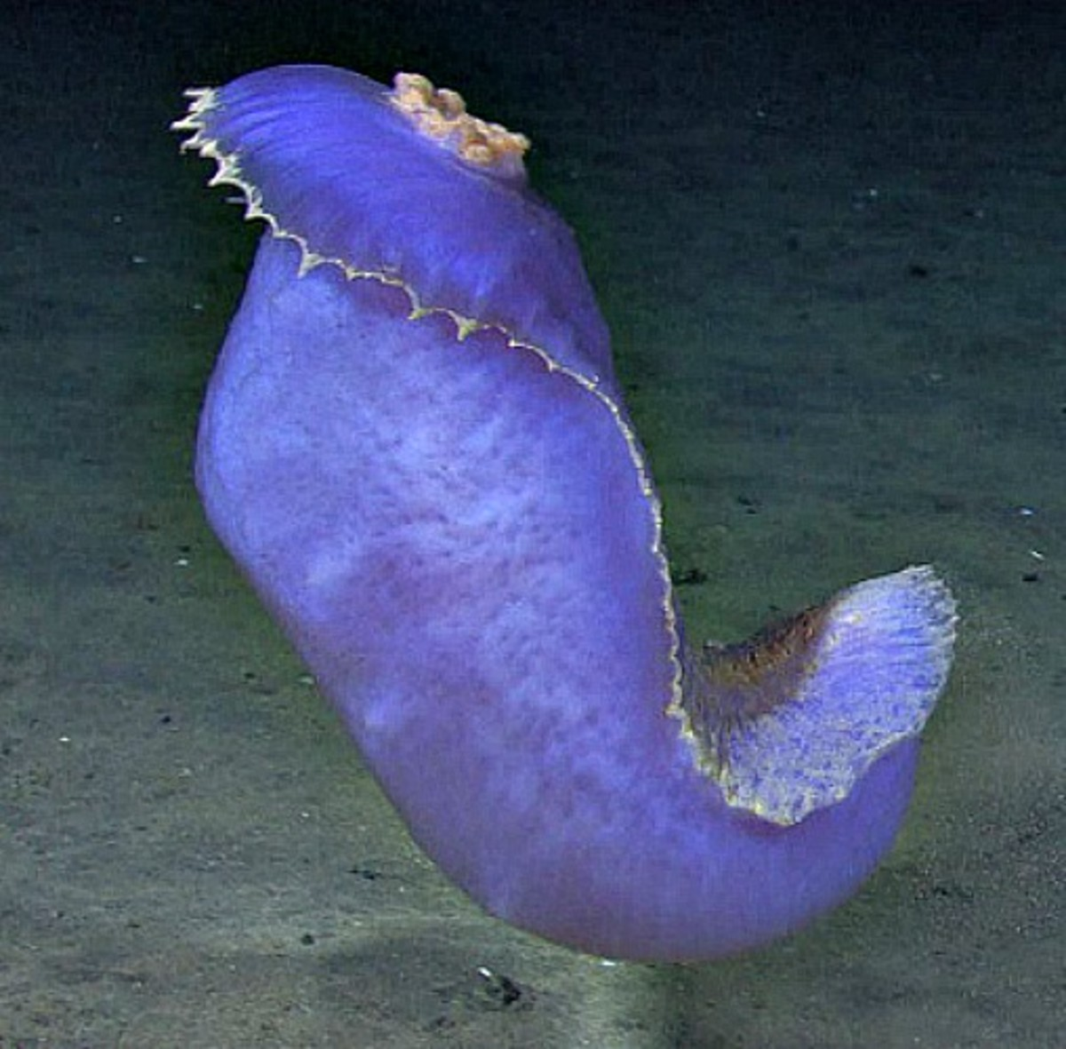 Blue sea cucumber