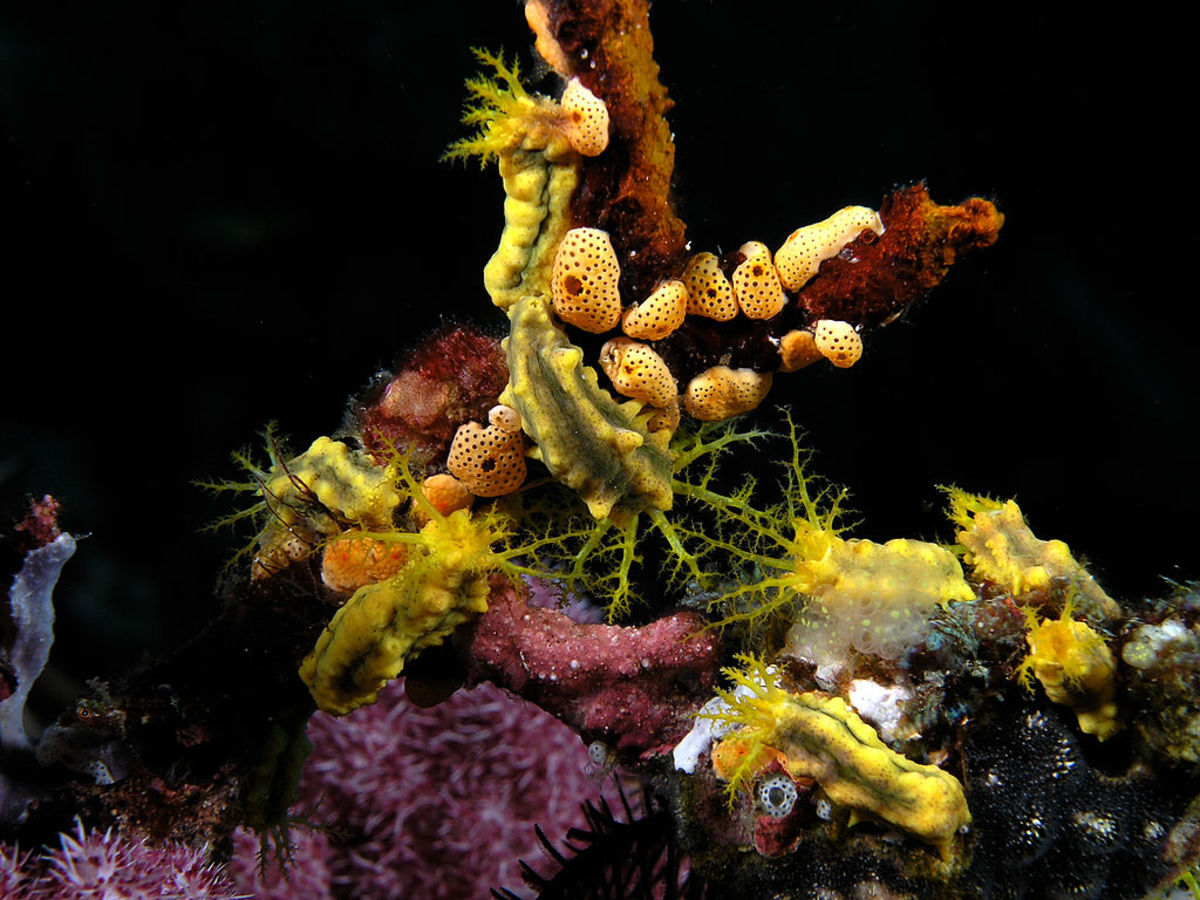Small group of yellow sea cucumbers