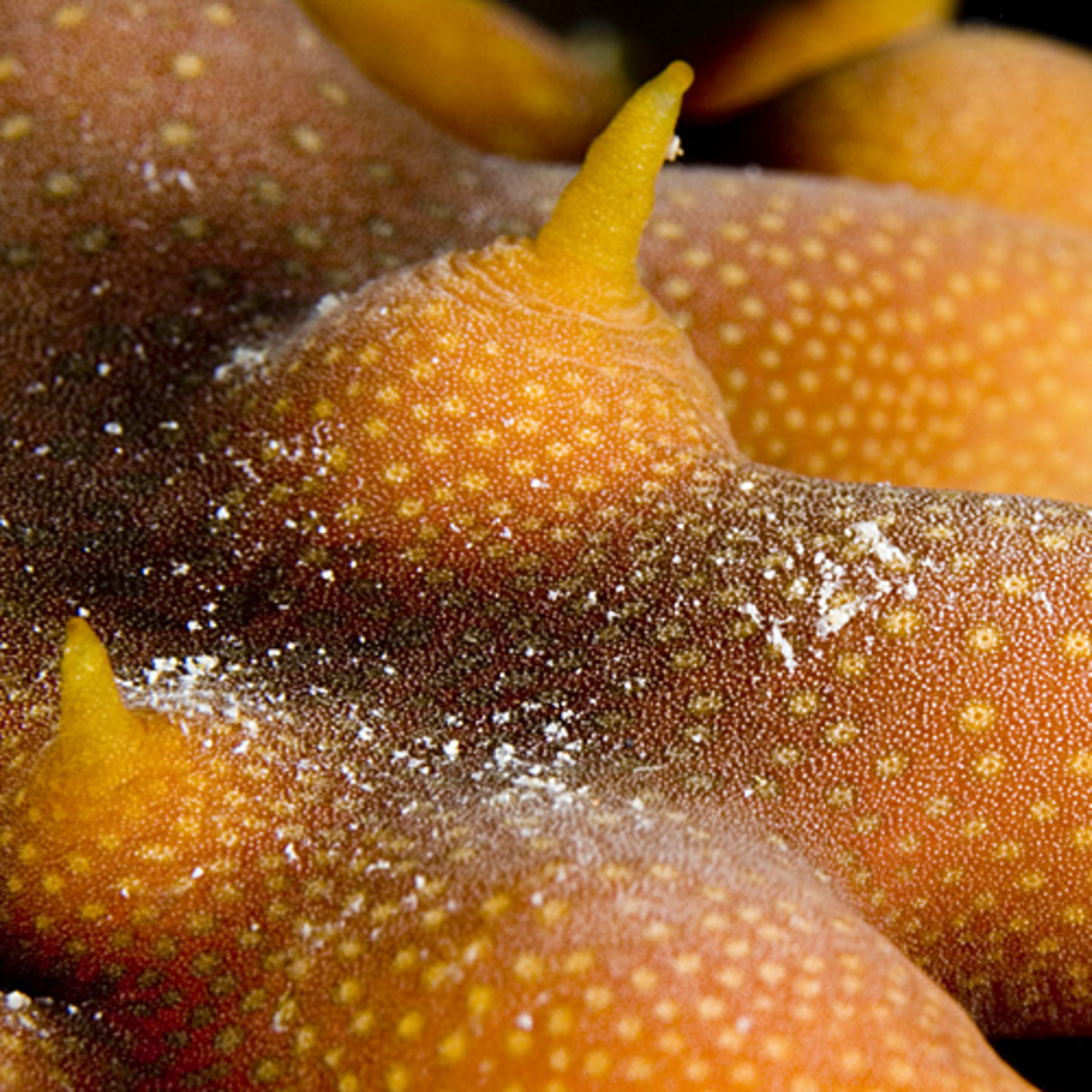 "Close-up of the ""feet"" on an unidentified sea cucumber."