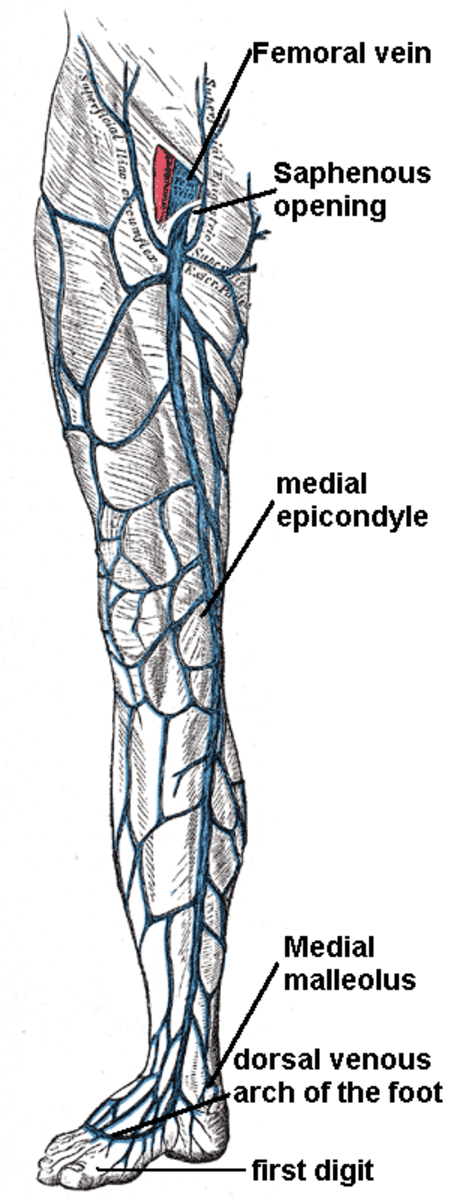 The great saphenous vein is illustrated here, one of the most commonly treated veins due to malfunctions like reflux.