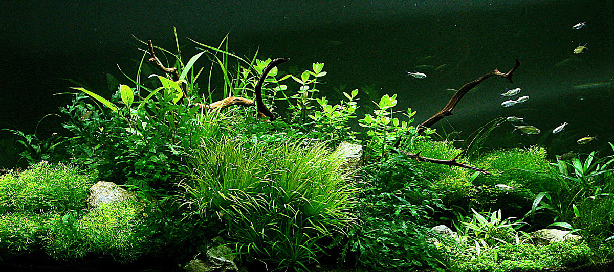 Aquatic plants in a tank