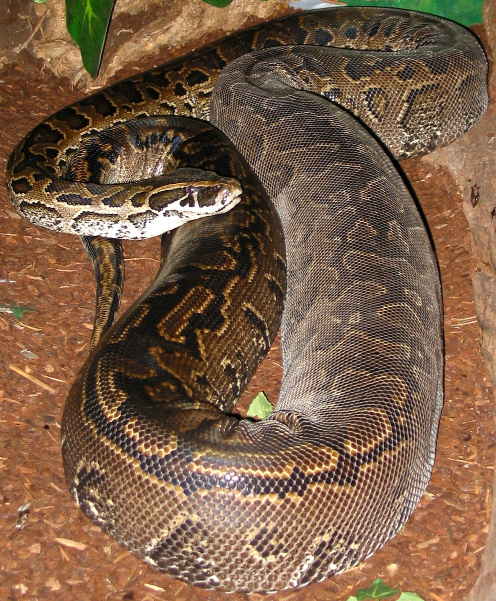 "A large female African Rock Python, getting ready to shed by the looks of the ""clear"" layer of skin through the middle portion of her body."