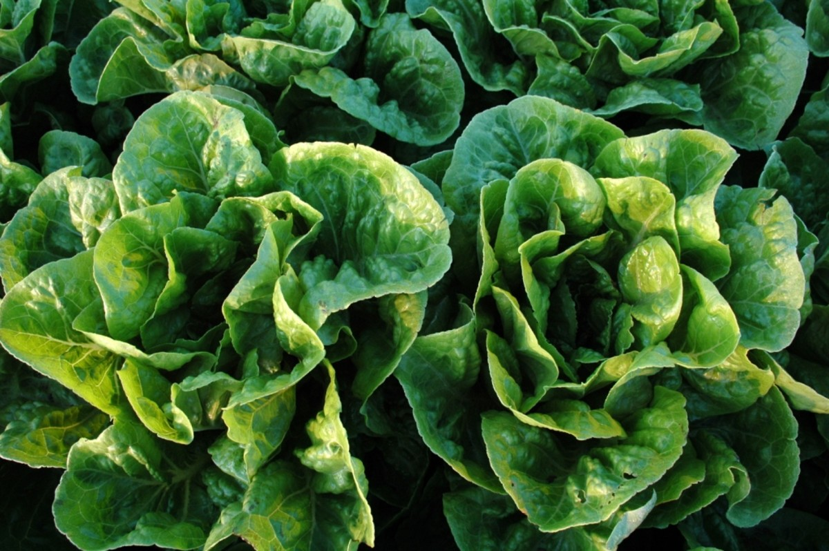 How To Make Wilted Lettuce