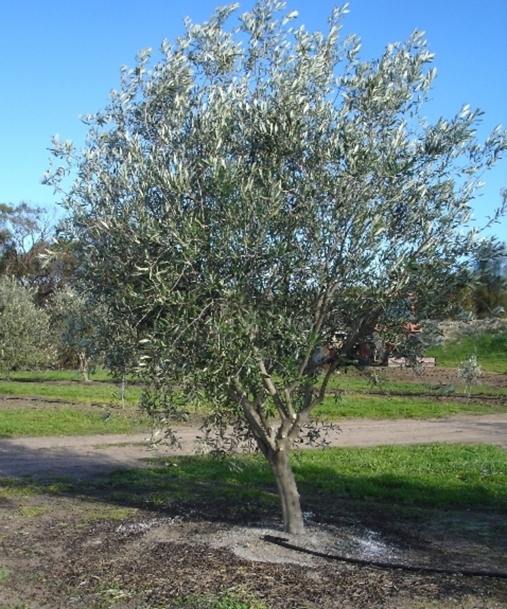 Pruning and training olive trees help them to grow strong fruits.