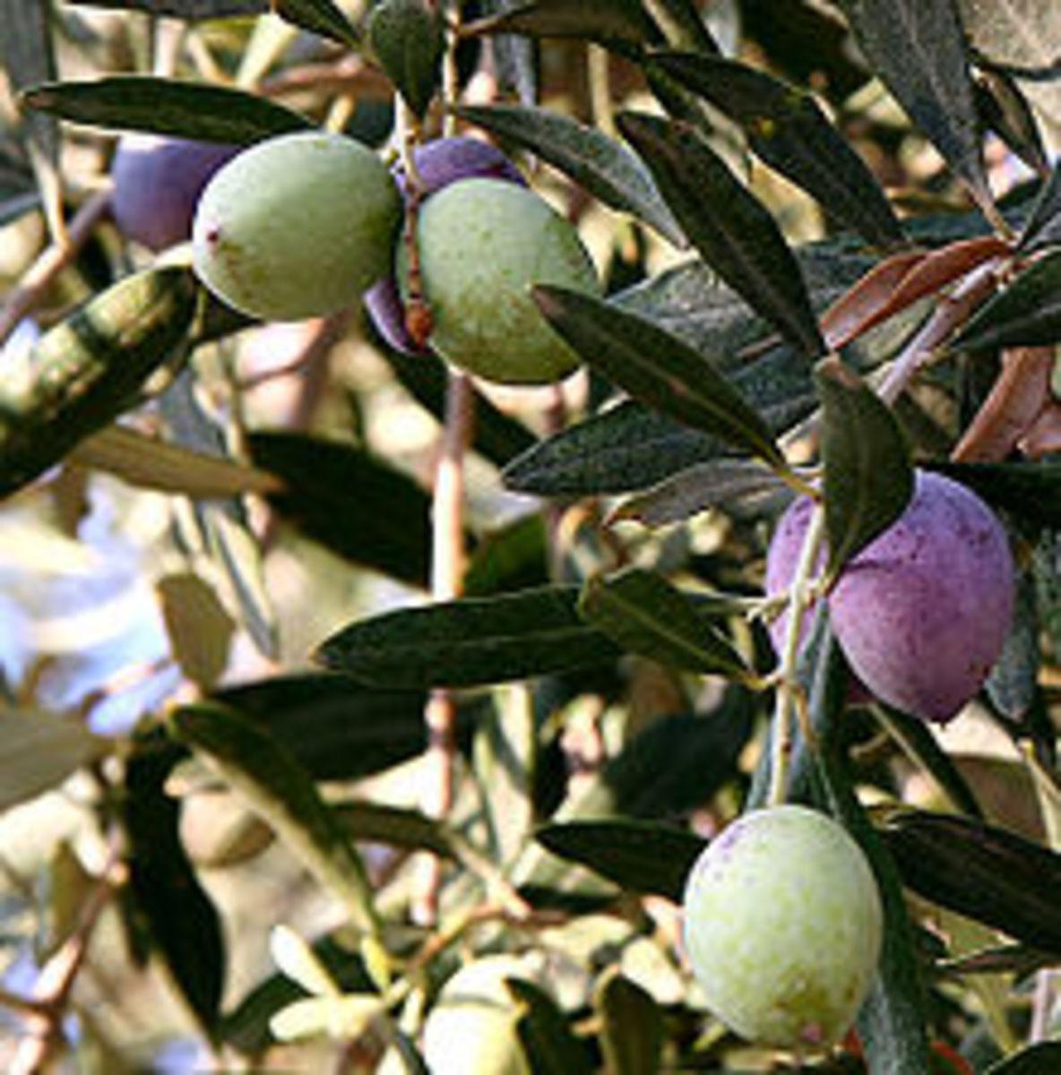 Olive tree!