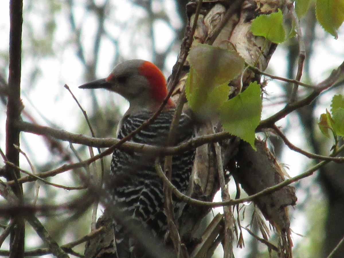 Female Red-Bellied Woodpecker on her favorite nut-shucking tree.