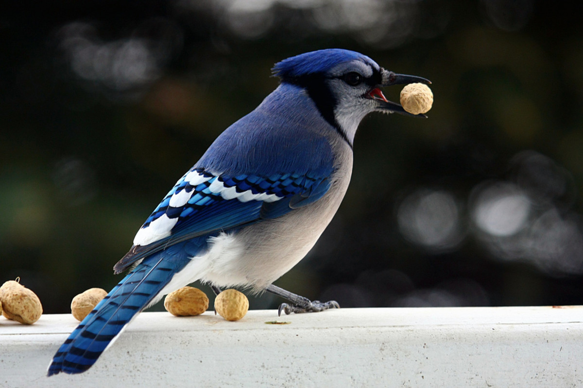 Blue Jays are very fond of peanuts.