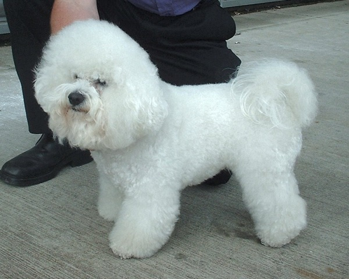 Small, light colored dog breeds such as Bichon Frise and Poodles tend to have problems with tear stains