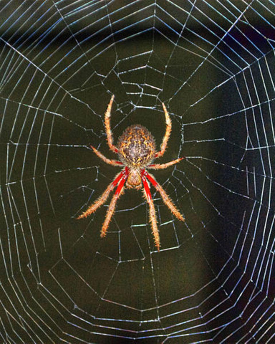 An Australian Orb Weaver Spider.
