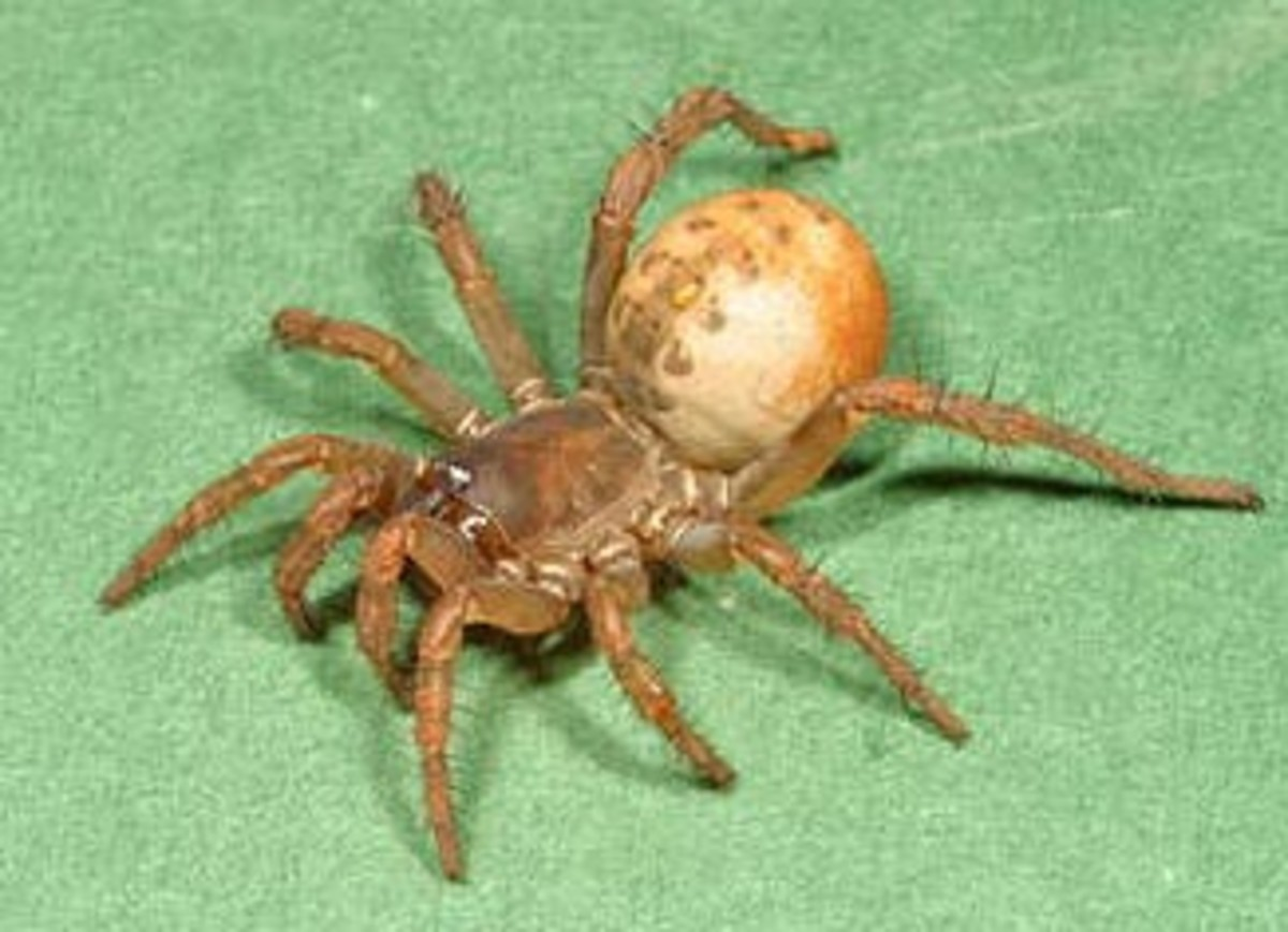 A surviving Mesothelae spider from Japan.