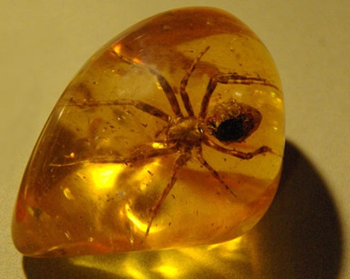 Most spider fossils are found in amber.