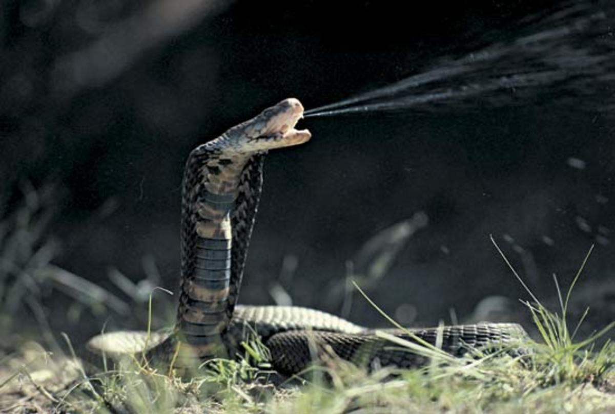 Black Spitting Cobra