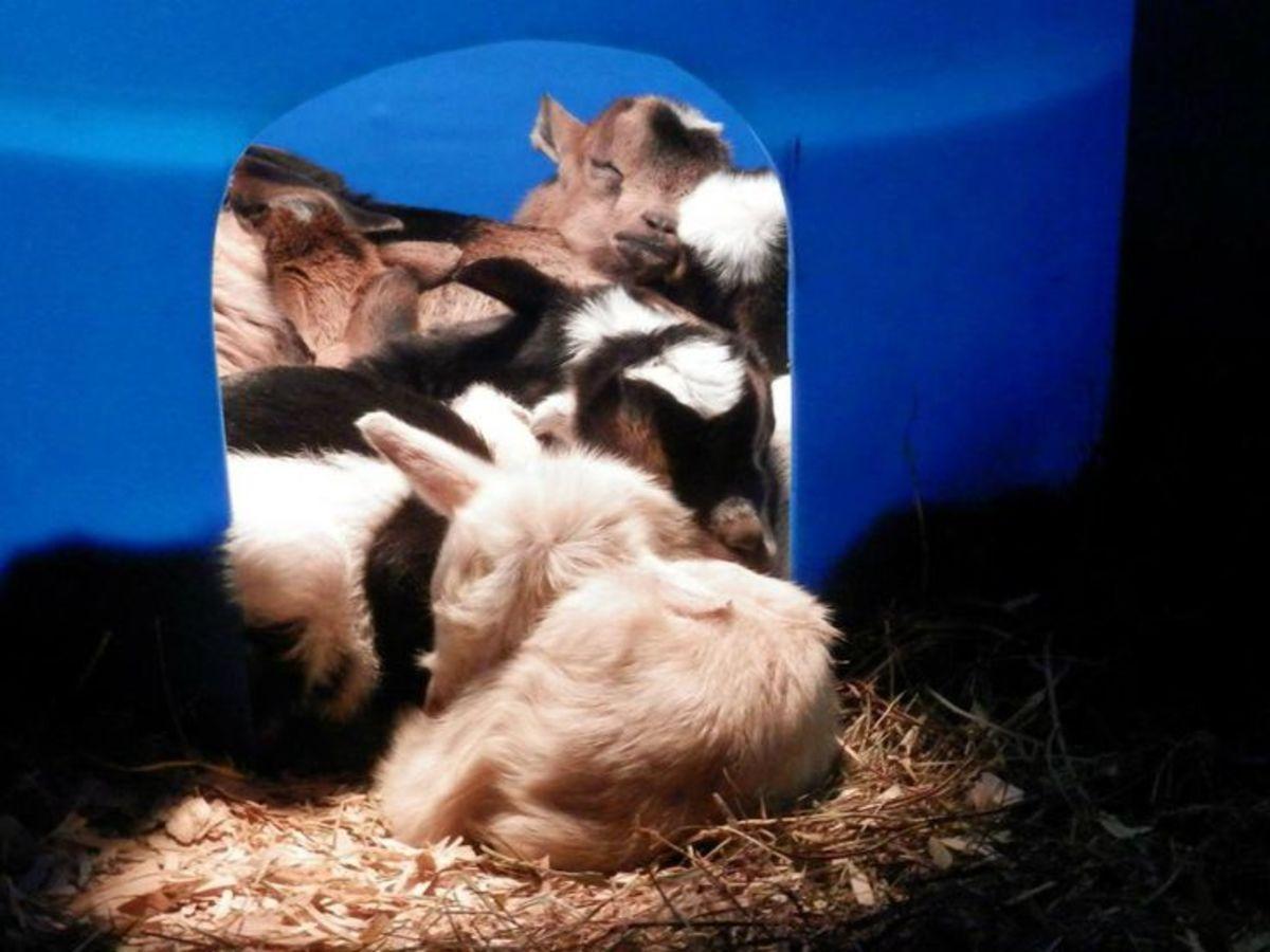Goat kids in a barrel under a heat lamp