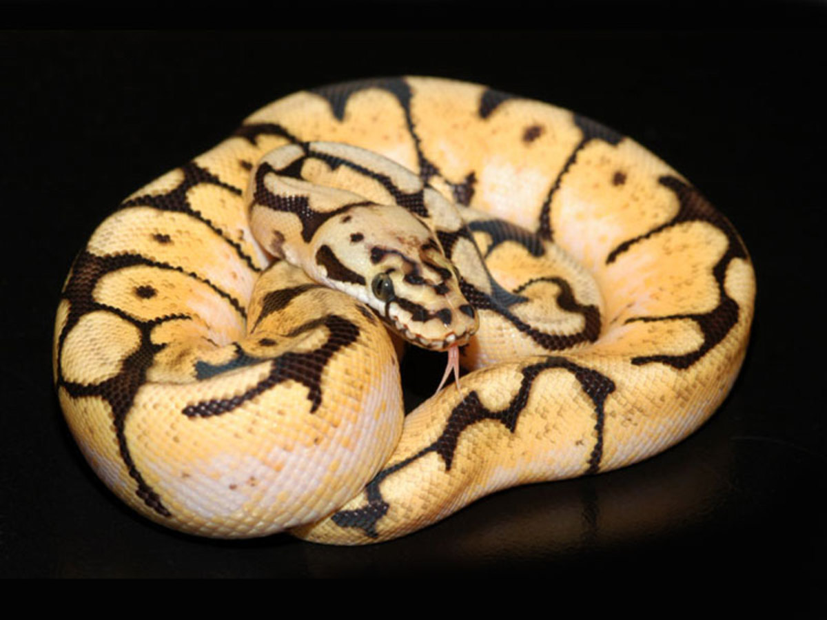 Bumble Bee Ball Python