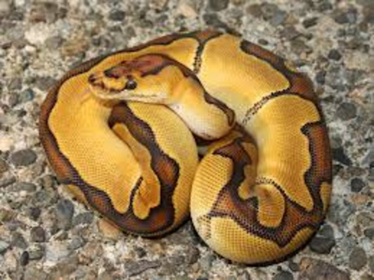Example: Enchi Clown Ball Python