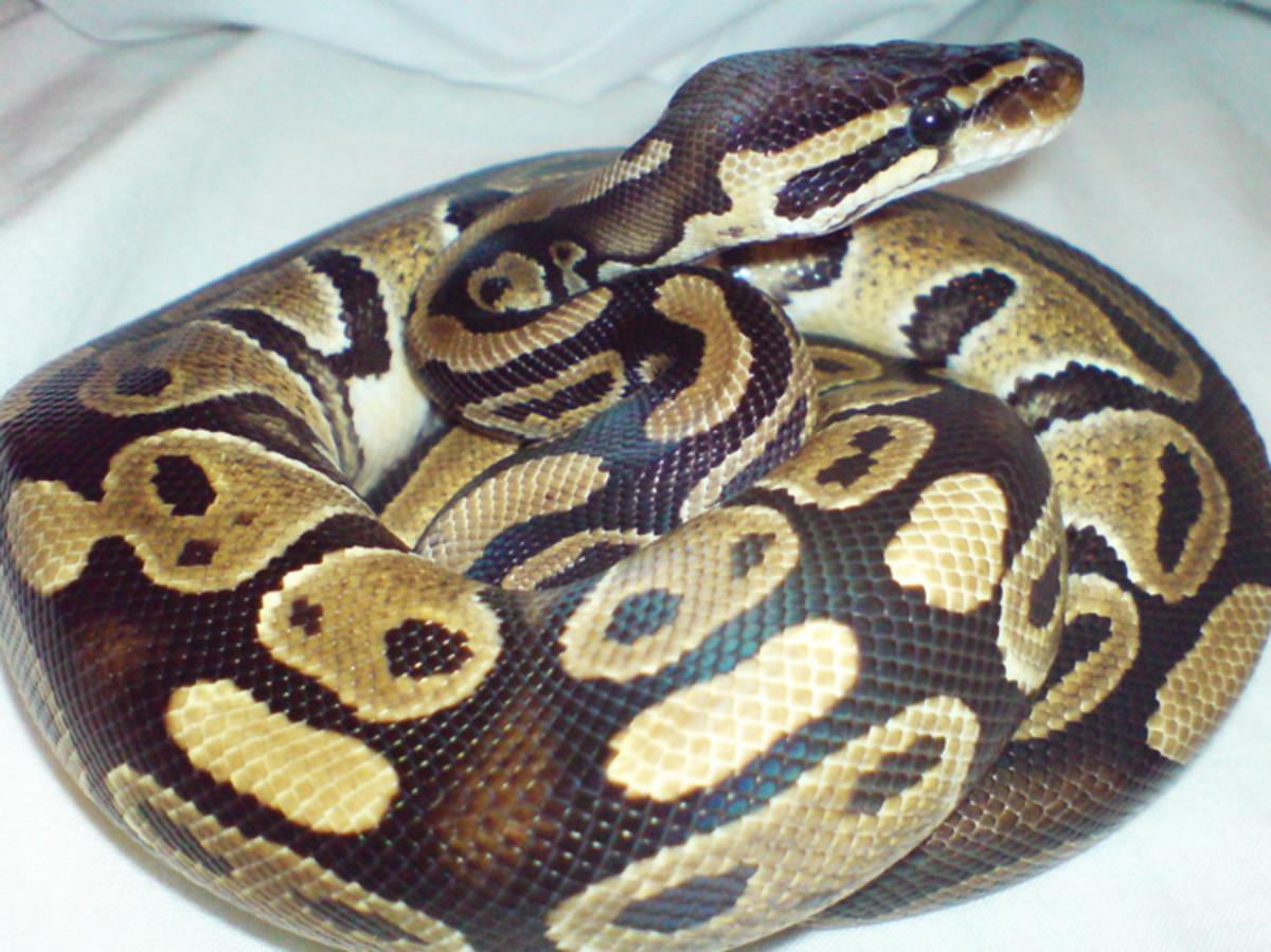 Example: Ball Python