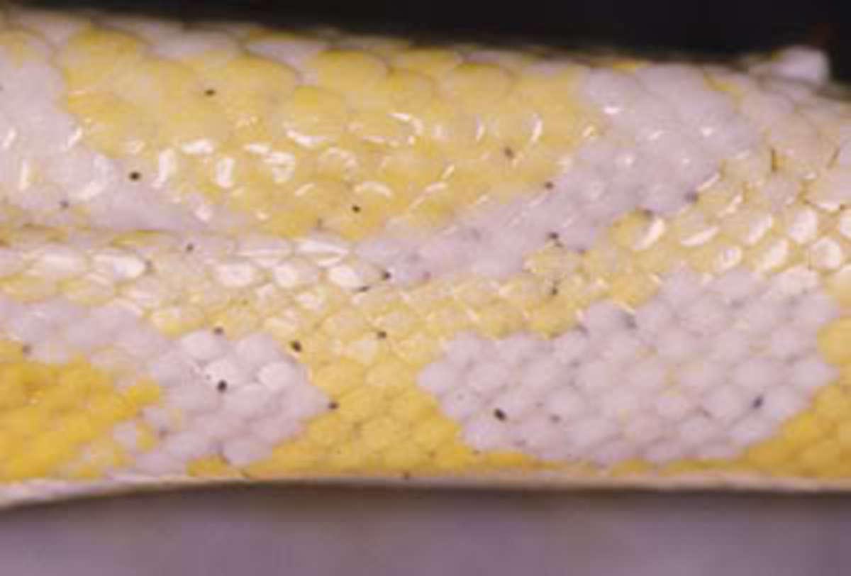 Mites on a Burmese Python