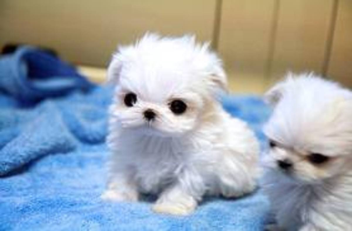 Maltese Poodles are so cute and small