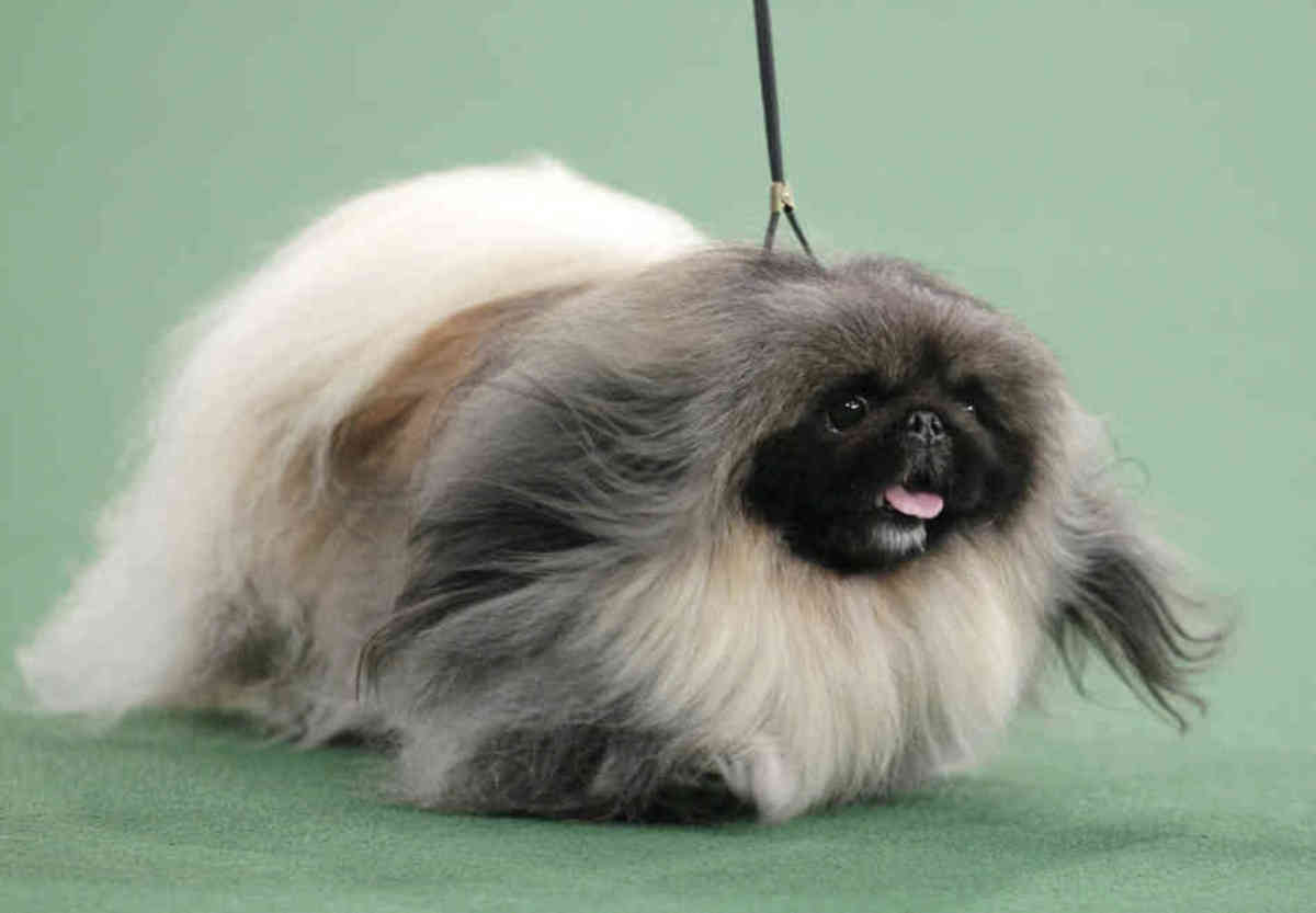 Pekingese dogs are also know as lion dogs or Peke.