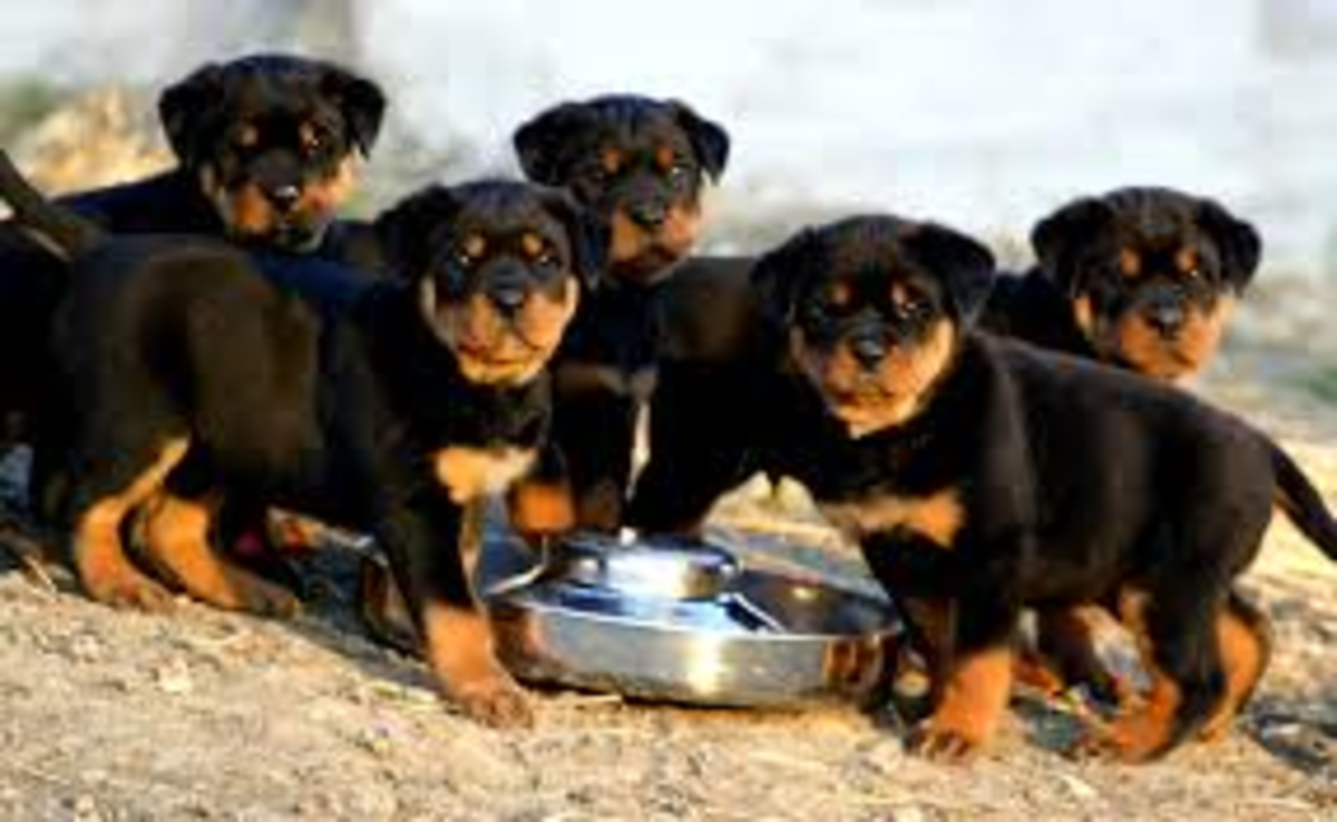 Rottweiler puppies are strong and grow quickly