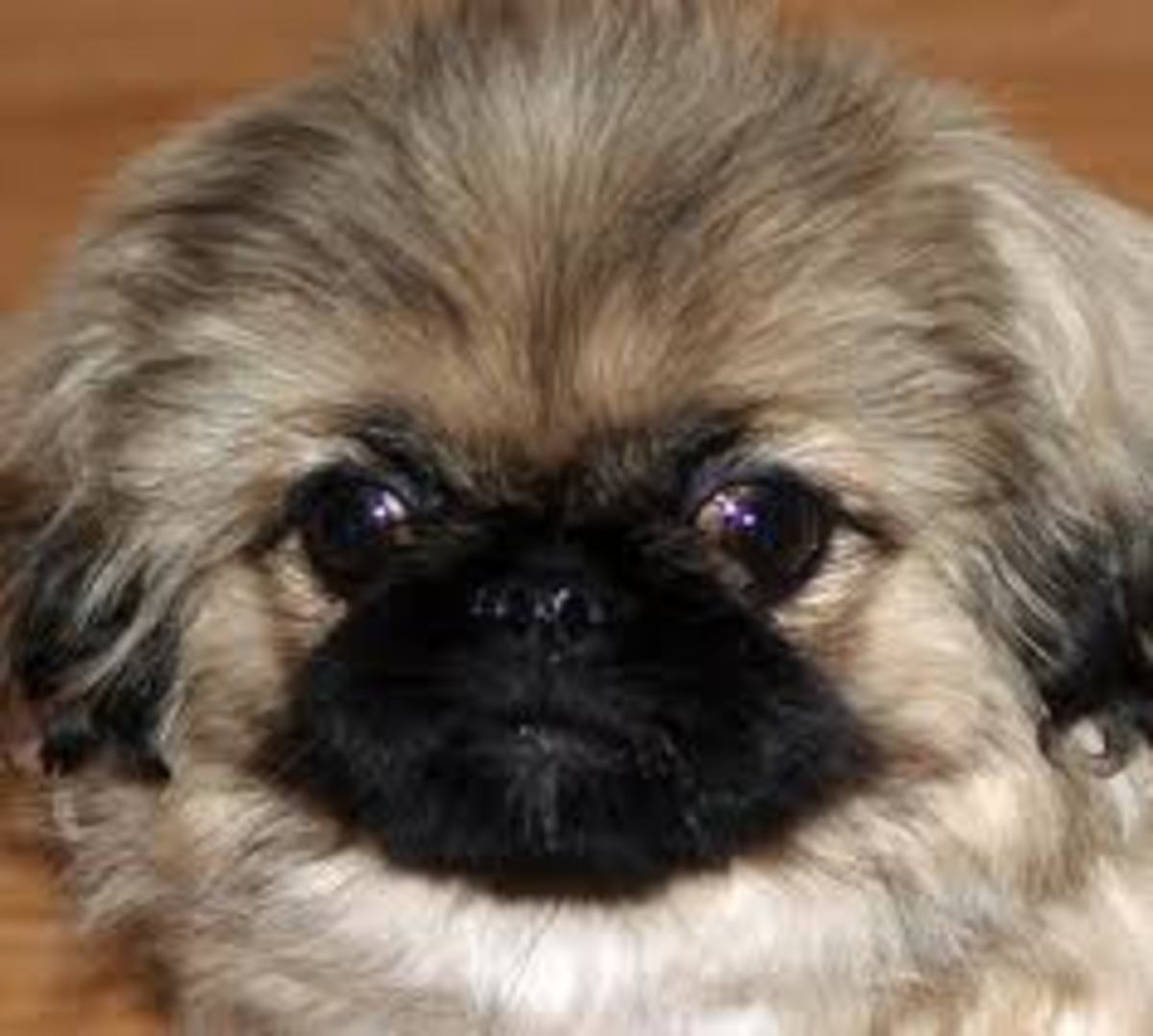 Pekingese dogs need lots of tender, loving care